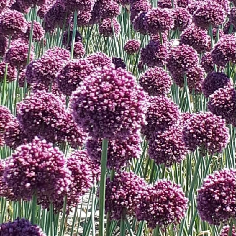 Allium ampeloprasum 'Purple...