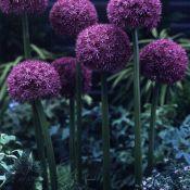 Allium 'Pinball Wizard'
