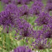 Allium 'Purple Rain'