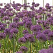Allium 'Statos'