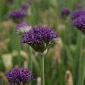 Allium 'Violet Beauty'