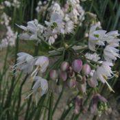 Allium cernuum -White Max-