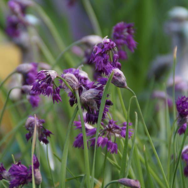 Allium cyathophorum var. farreri