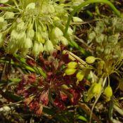 Allium flavum subsp. tauricum