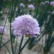 Allium ledebourianum