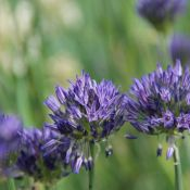 Allium litvinovii