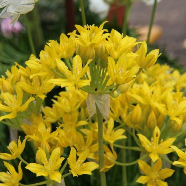 Allium moly 'Jeannine'