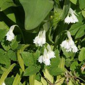 Allium paradoxum var. normale