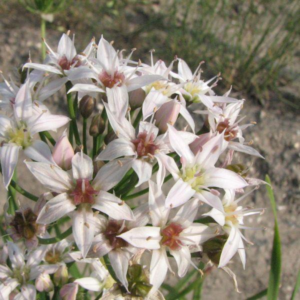 Allium plummerae