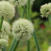 Allium pskemense
