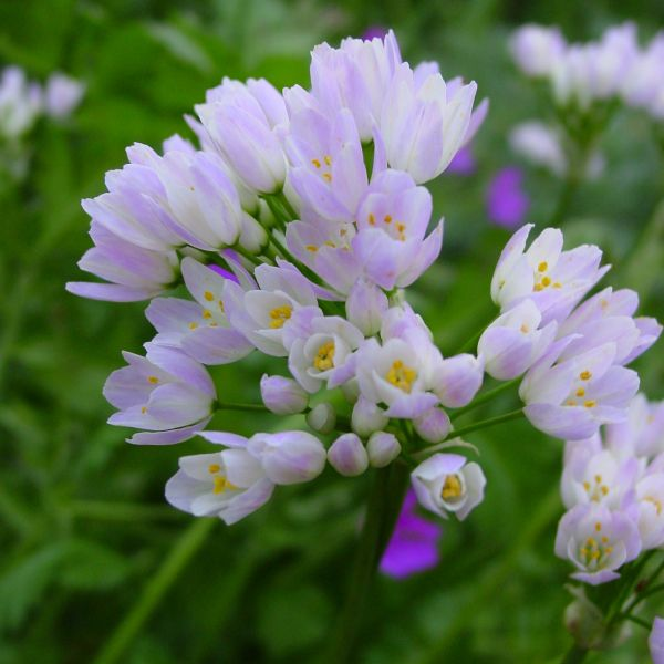 Allium roseum var. roseum