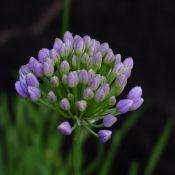 Allium senescens var. montanum