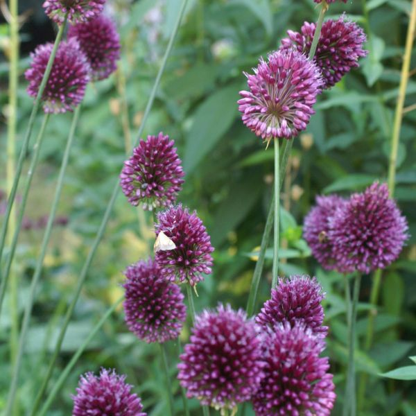 Allium sphaerocephalon subsp.sphaerocephalon