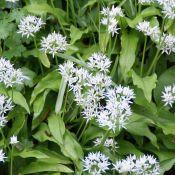 Allium ursinum subsp. ursinum