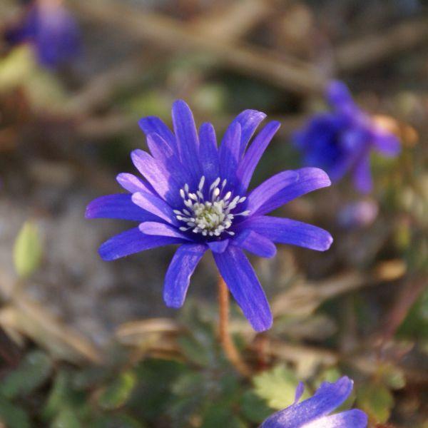 Anemone apennina 'Petrovac'