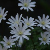 Anemone apennina var. alba