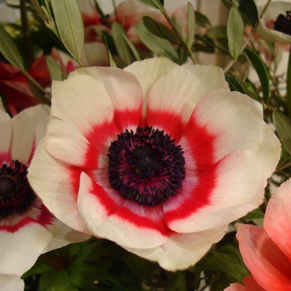 Anemone coronaria -bicolor type-