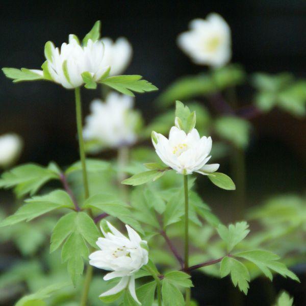 Anemone nemorosa 'Bracteata Plena'