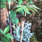 Arisaema ciliatum var. liubaense