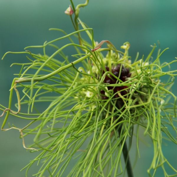 Allium 'Hair'