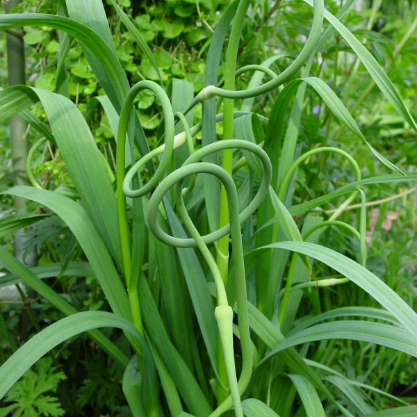 Allium sativum v. ophioscorodon