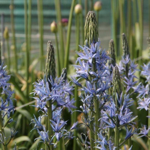 Camassia leichtlinii 'Blue Candle'