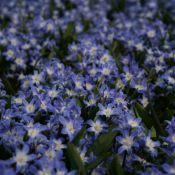 Chionodoxa forbesii 'Blue Giant'
