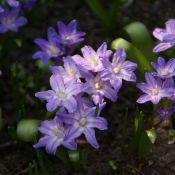 Chionodoxa luciliae 'Violet Beauty'