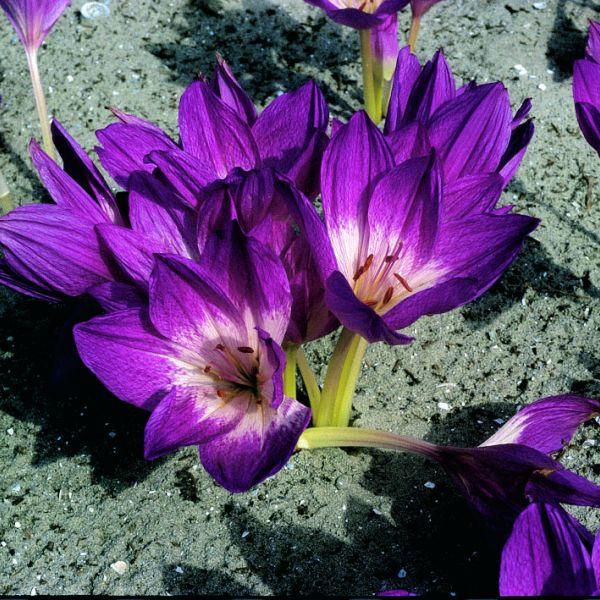 Colchicum bivonae 'Apollo'