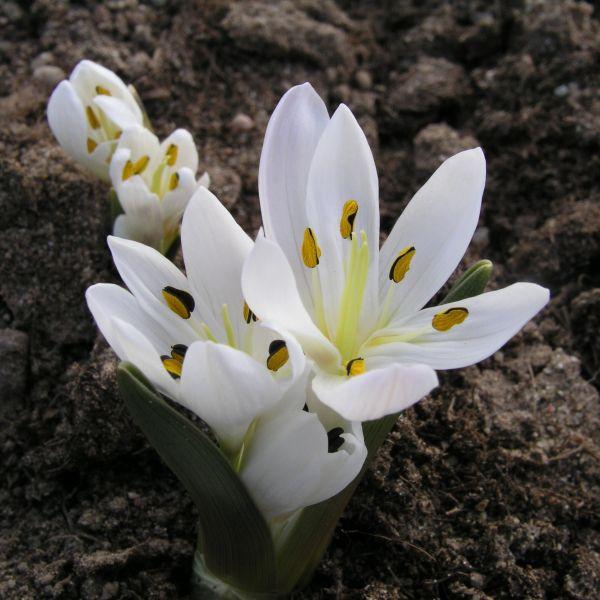 Colchicum trigynum