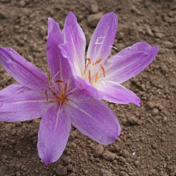 Colchicum bivonae -Mt. Giona-