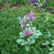 Corydalis solida subsp. solida