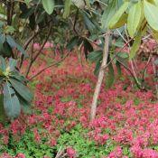 Corydalis solida subsp. solida 'G.P. Baker'