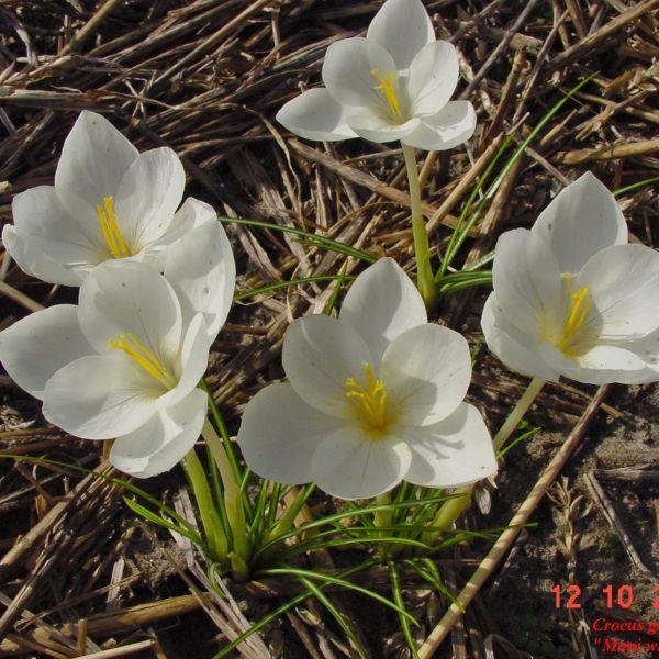 Crocus goulimyi 'Mani White'