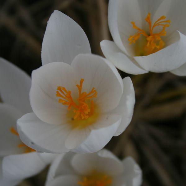 Crocus speciosus subsp. speciosus 'Albus'