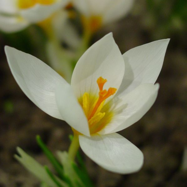 Crocus 'Bowles' White'
