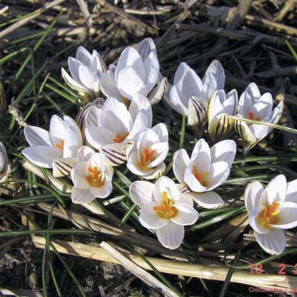 Crocus biflorus subsp. biflorus