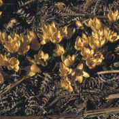 Crocus vitellinus