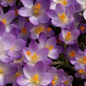 Crocus tommasinianus 'Barr's Purple'