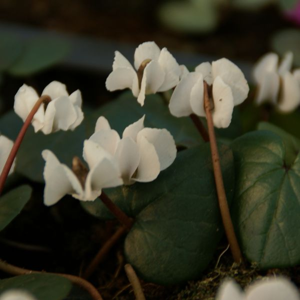Cyclamen coum forma albissimum