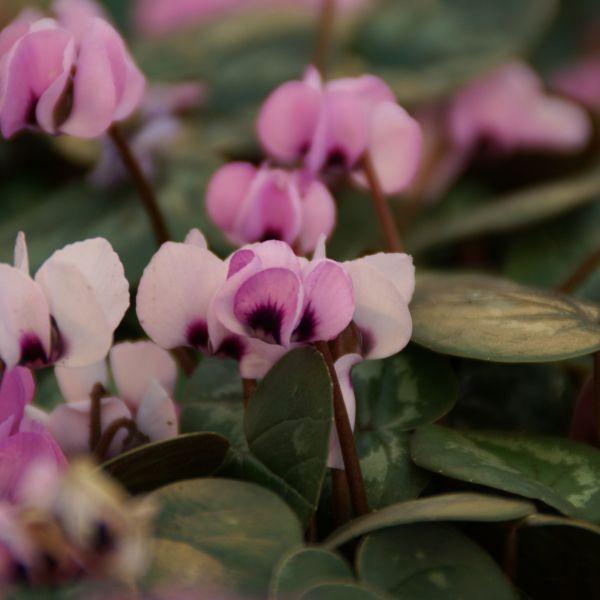 Cyclamen coum subsp. coum