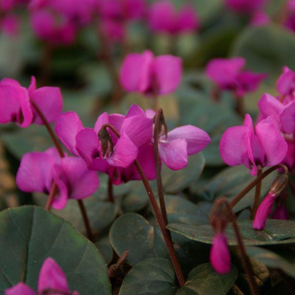 Cyclamen coum subsp. coum 'Rubrum'