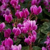 Cyclamen hederifolium -paarse selectie-