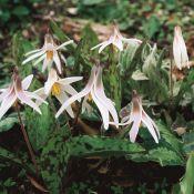 Erythronium albidum