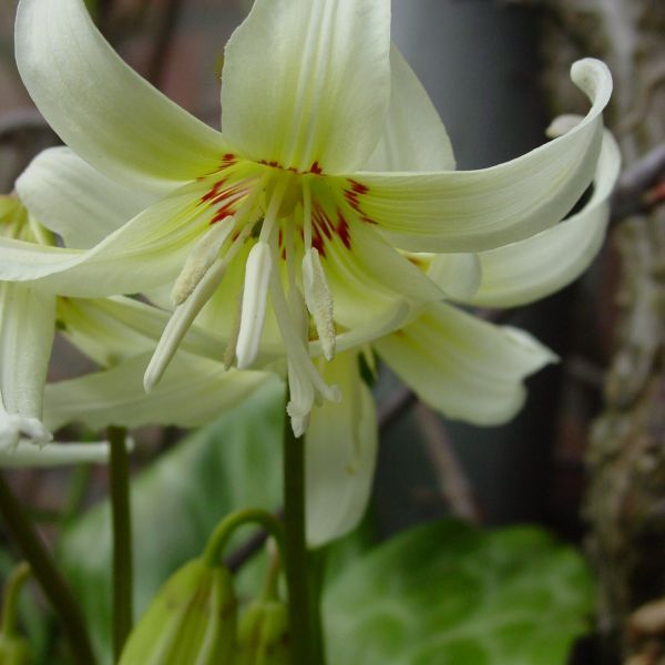 Erythronium 'White Beauty'