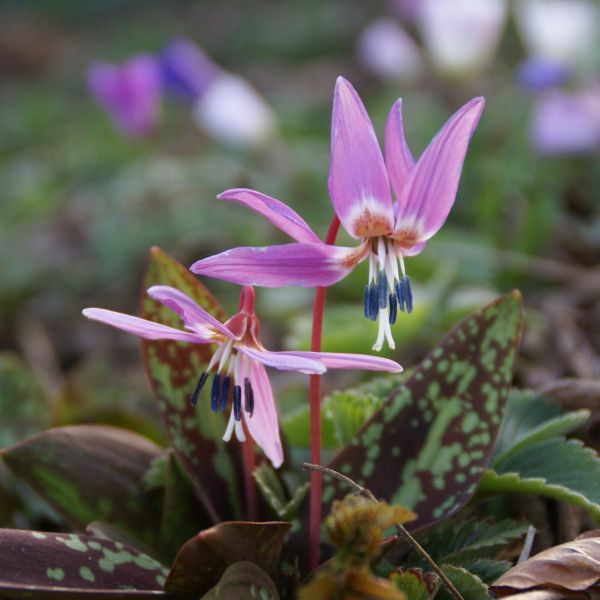 Erythronium dens-canis 'Purple King'