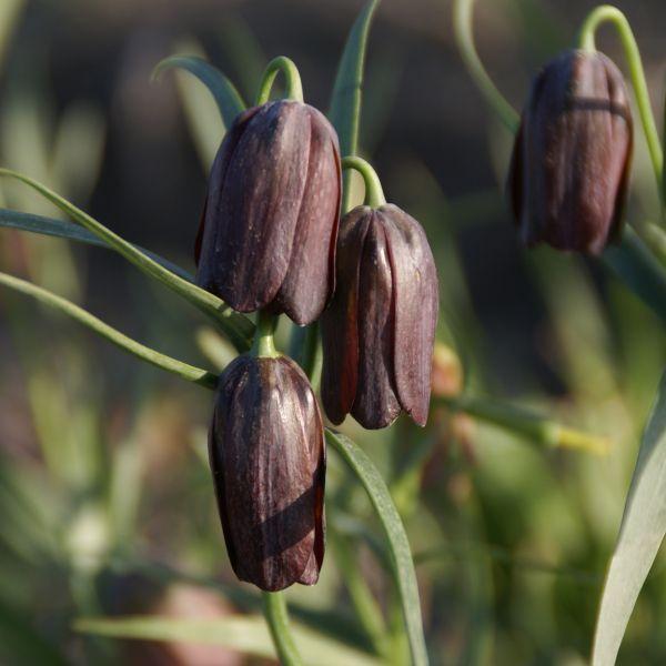 Fritillaria caucasica