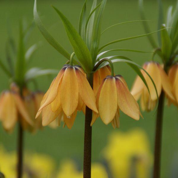 Fritillaria 'Vivaldi'