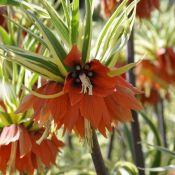 Fritillaria imperialis 'Argenteovariegata'