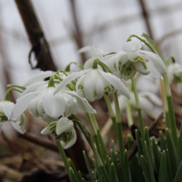Galanthus 'Flore Pleno' (Double Group)